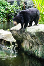 Black bear at waterfront Royalty Free Stock Image