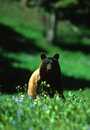 Black Bear in Wildflowers Stock Photo