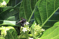 Black bee on flower a taking pollen from a flowering plant at a state park just north of kona hawaii Stock Photos