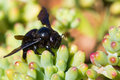 Black bee resting on succulent plants Royalty Free Stock Images