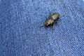 Black beetle carabidae close up on jeans background Royalty Free Stock Images