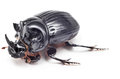 Black beetle isolated on white background Royalty Free Stock Photo