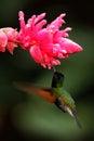 Black bellied hummingbird eupherusa nigriventris rare endemic hummingbird from costa rica black bird flying next to beautiful p Royalty Free Stock Photography
