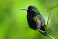 Black-Bellied Hummingbird, Eupherusa nigriventris, rare endemic hummingbird from Costa Rica, black bird sitting on a beautiful gre Royalty Free Stock Photo