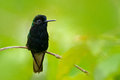 Black-bellied Hummingbird, Eupherusa nigriventris, rare endemic hummingbird from Costa Rica, black bird sitting on a beautiful gre Royalty Free Stock Photo