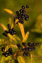 Black berries Royalty Free Stock Photos