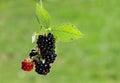 Black berry bush Royalty Free Stock Photo
