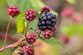 Black berry close up of young Stock Image