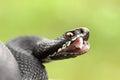Black berus viper showing fangs Royalty Free Stock Photo