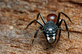 Black big head ant Royalty Free Stock Images