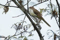 Black-billed Cuckoo Royalty Free Stock Photo