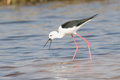 Black-billed stilt with prey between beaks Royalty Free Stock Photo