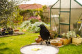 A black bird a currawong sits on a bird feeder in a garden the edge of metal some apples sit the tray front of greenhouse pleasant Royalty Free Stock Photo