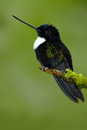 Black bird from Ecuador. Collared Inca, Coeligena torquata, dark green black and white hummingbird in Colombia. Wildlife scene wit