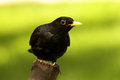 Black bird Royalty Free Stock Photo