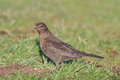 Black bird a female turdus merula on grass Stock Image