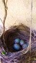 Black Bird Nest