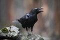Black bird raven with open beak sitting on the stone Royalty Free Stock Photo