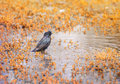 The black bird is a Starling drinking water and swims on flooded meadows Royalty Free Stock Photo