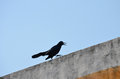 Black bird on wall angry protecting territory ledge of against blue sky Royalty Free Stock Photography