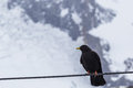 Black bird with yellow beak in snow Royalty Free Stock Photo