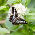 Black and blue butterfly Royalty Free Stock Photo