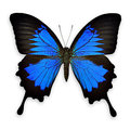 Black and blue butterfly on white background Royalty Free Stock Photo