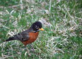 Black breast orange bellied bird on lawn Royalty Free Stock Image