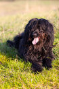 Black Briard Stock Photos
