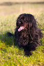 Black Briard Stock Photography