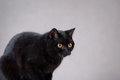 Black  British cat Stock Images