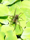 Black brown pond spider on green water fern in sunny day Stock Photo