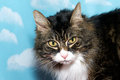 Black brown and white long hair tabby cat with yellow eyes, blue Royalty Free Stock Photo