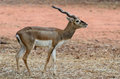 Black Buck Stock Photo