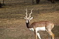 Black buck antilope cervicapra in new delhi zoo Royalty Free Stock Image