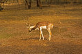 Black buck in delhi zoo Royalty Free Stock Photos