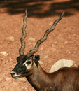 Black Buck Portait Stock Images