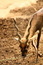 Black Buck walking with long curved horn Royalty Free Stock Photo