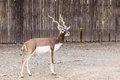 Black buck walking twisted spiral horn in the park Stock Photo