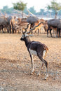 Black buck walking twisted spiral horn in the park Stock Images