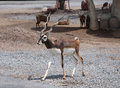Black buck in zoo or safari of thailand Royalty Free Stock Photo