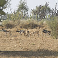 Black bucks in rajasthan india Stock Image
