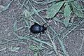 Black bug Royalty Free Stock Photo