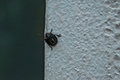 Black Bug on a Wall Royalty Free Stock Photo