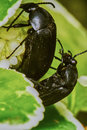 Black bugs Royalty Free Stock Photo