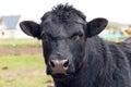 Black bull portrait Royalty Free Stock Photo