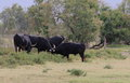 Black bulls in the French Camargue Royalty Free Stock Photo