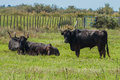 Black bulls on a ranch in Camargue Royalty Free Stock Photo