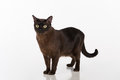 Black Burmese Cat. Isolated On...