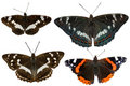 Black butterflies Royalty Free Stock Photos